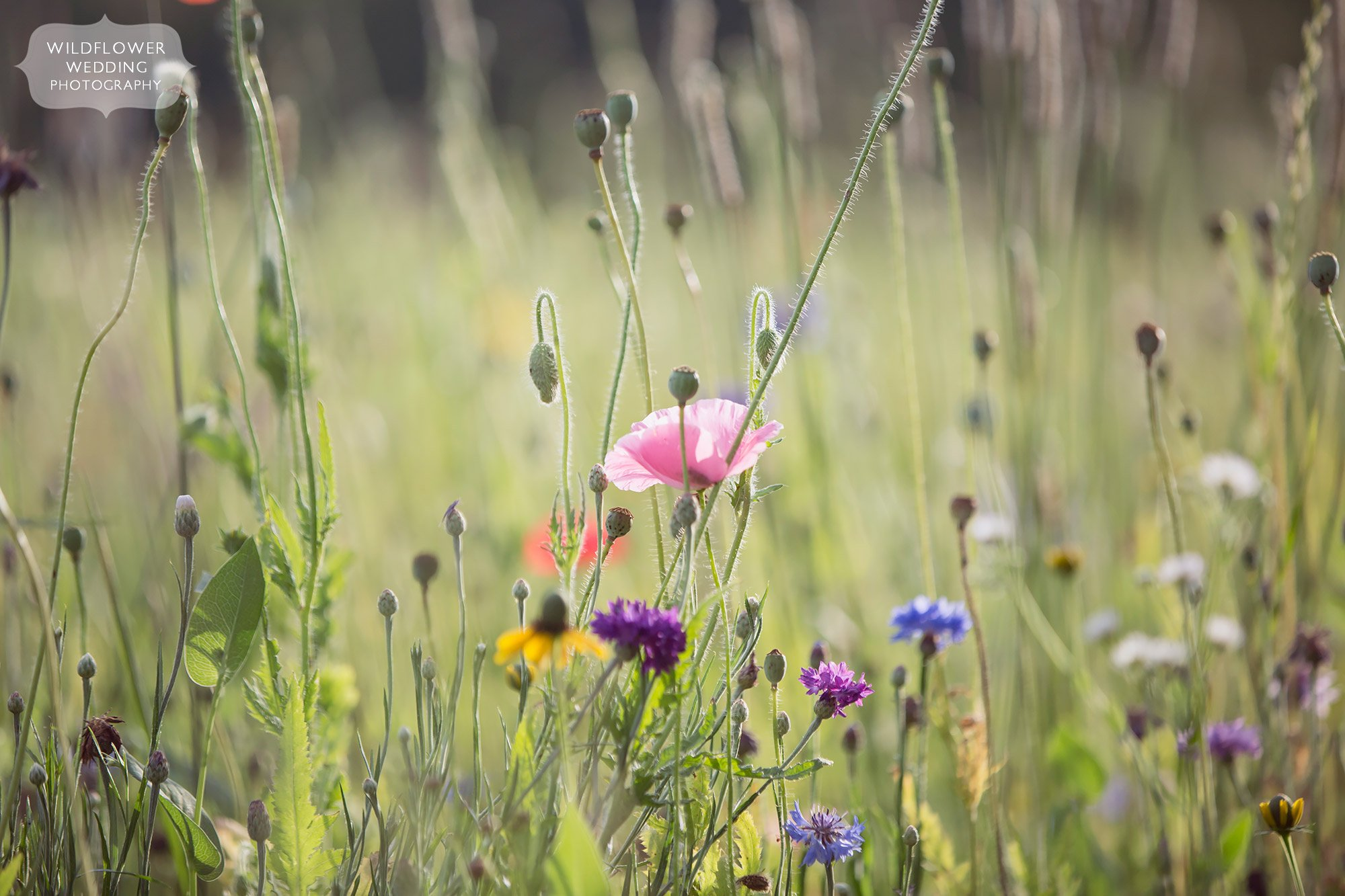 A field of colorful wildflowers behind the barn wedding venue at Kempker's Back 40 in southern MO.
