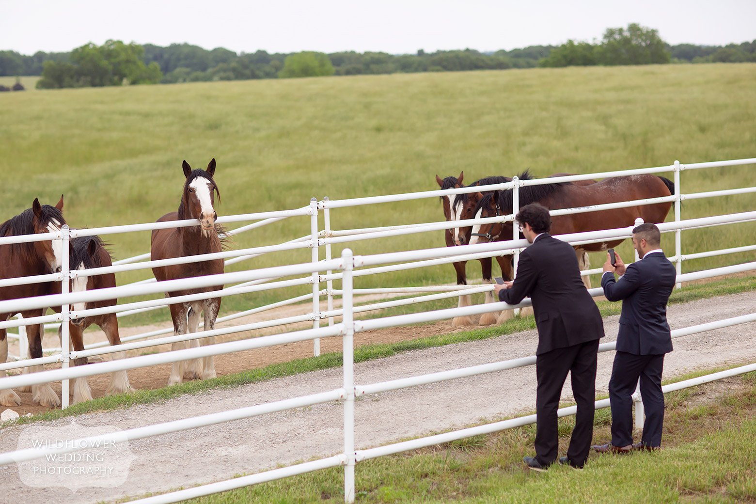 Clydesdales outside at Cooper's Ridge in Boonville, MO.