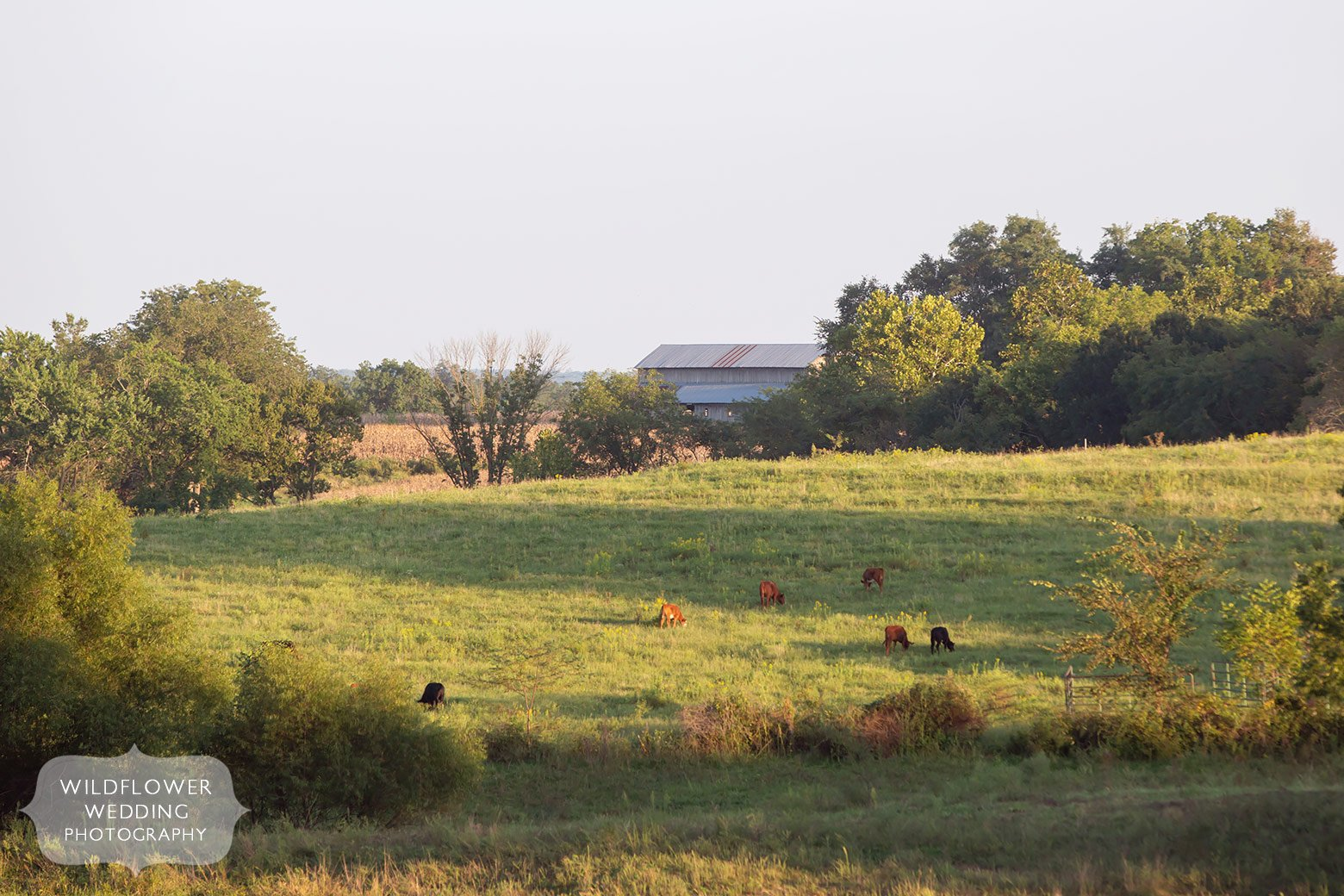 Wedding in field with cows in Mid-Missouri.