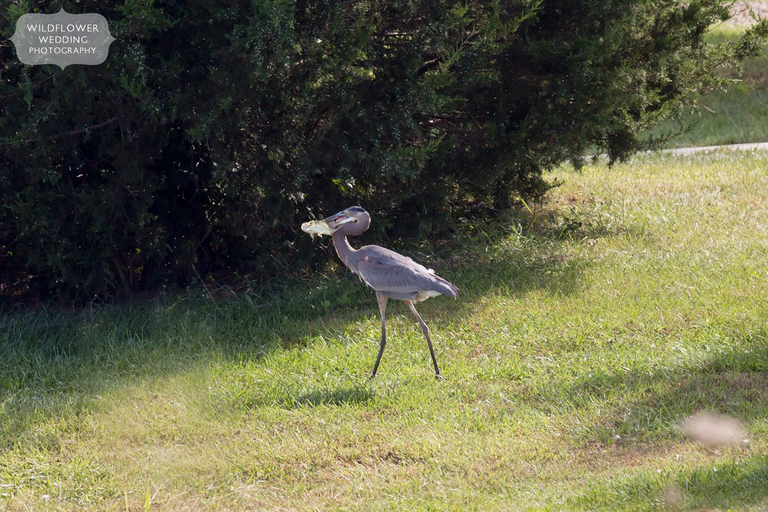 Great Blue Heron with fish in it's mouth in Missouri.
