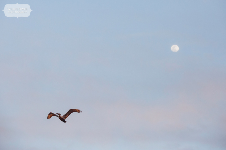 A brown pelican flies in front of a full moon on St. George Island in Florida.